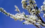 長清櫻桃開花千萬枝,如雪似雲
