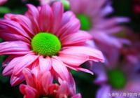 《菊兮菊兮驚魂,心兮心兮含情》菊花之《愛依舊》