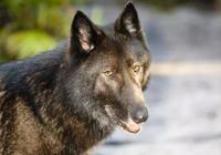 一條狼狗幸運又悲涼的一生