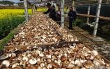 湖北宜昌:農民種植香菇;幾斤鮮香菇能晒一斤幹香菇?