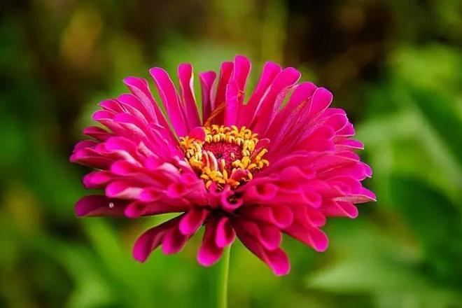 一花一世界:百日菊