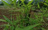 農村閒置的荒地種植反季節雷竹,畝年均收益過萬,,該如何建園?