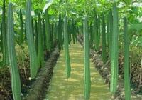 農民種絲瓜, 絲瓜長勢好結瓜卻很少,教農民幾招,絲瓜結滿藤