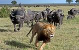 獅子王的囧態全集