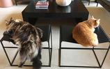 """緬因貓有多""""逗""""?不愧被稱為貓中的""""哈士奇"""""""