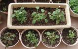 原來鳳仙花繁殖也這麼簡單,僅十天的時間,就插活了29棵鳳仙花