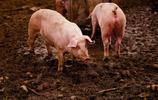 動物圖集:挪威豬
