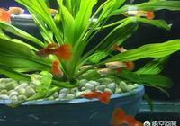 孔雀魚到底該怎麼養?