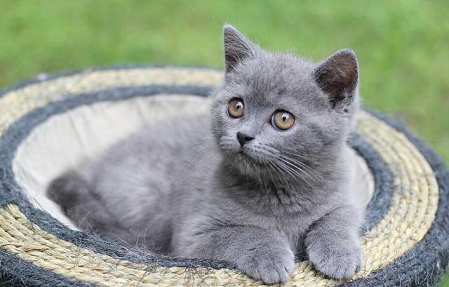 英國短毛貓有哪些外形特徵和生活習性呢?來聽聽寵物店老闆怎麼說