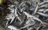 原來魚翅是這樣來的,沒有利益就沒有殺戮!