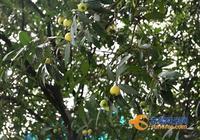 東莞人小時候都吃過這種水果 如今不受待見 據說有安胎奇效