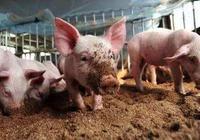 農村生豬銷售困難,小養殖戶以後還會繼續養豬嗎?