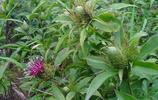 白朮為菊科植物