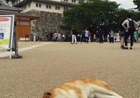 """日本懶惰無極限""""厭世柴犬"""",爆紅超有個性""""走到哪躺到哪""""!"""