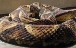 中國10大毒蛇,第一陸地最毒之蛇,第七世界最害羞之蛇