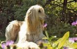 動物圖集:阿富汗獵犬 長毛的狗狗