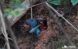 翠鳥,如此美麗的鳥,誰會想到它的巢穴在地洞中!