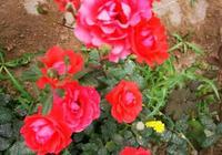 沒想到月季花在春天也可以適當修剪,減少病蟲害,有利開花