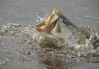 非洲維多利亞湖中氾濫的尼羅河鱸魚都胖成球了,真的太囂張了