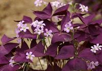 紫色酢漿草怎麼養才能使葉子更多?