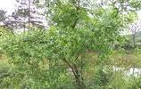 我家的生態果園,一片碧綠,只有枇杷熟透了心