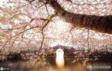 櫻花,櫻花,還是櫻花,黿頭渚美若仙境!