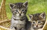 動物圖集:小貓咪盯著它:下次不要再偷吃了,這次就原諒你吧
