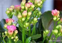 """""""2種花""""現在養一盆,20天就能爆盆,春節便可開花,太漂亮!"""