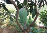 目前國內產量最好的芒果是什麼芒果?