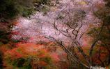 日本、日本人,和他們的日本櫻花