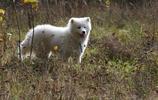 薩摩耶犬,別名薩摩耶原是西伯利亞的原住民薩摩耶族培育出的犬種