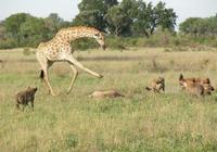 長頸鹿的戰鬥力怎麼樣?
