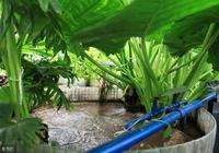 滴水觀音要怎麼水培?滴水觀音水培的養護與管理