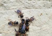 蜜蜂的蜂王死了怎麼辦?蜜蜂沒有蜂王怎麼辦?