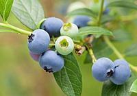 藍莓變紅可以吃嗎 藍莓壞了是什麼樣的