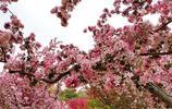 最佳觀賞期!海棠花滿樹、鬱金香滿園,北京植物園人山人海逛花海