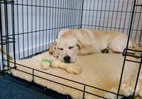 年紀大的狗狗為什麼要進行籠內訓練?特別是領養回來的狗狗