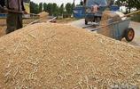 小麥最低收購價每斤微降3分,農民田間收割、地頭賣糧
