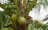 你不知道的椰子與椰子汁與椰子飯屌爆了