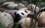 四川成都的大熊貓告訴我們,只有吃飽了才有力氣睡覺!被最後一張圖萌慘了!