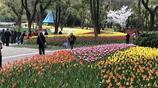 三月的無錫依舊花開不斷,梅園的鬱金香又如約綻放