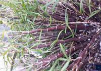 鐵皮石斛和紫皮石斛你分得清楚嗎?紫皮石斛的作用又有哪些?