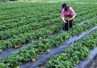 草莓產量不穩定,主要是植株長勢的問題,可以這樣調控