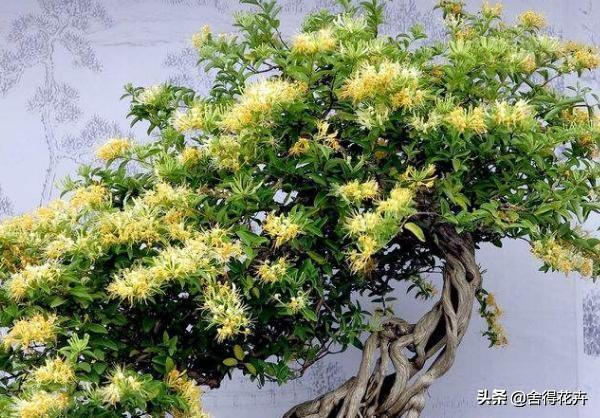 隨手就種,金銀花老樁盆景這麼簡單,賞花養生兩不誤