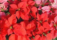 一品紅葉子為什麼會變紅 一品紅的花是花還是葉