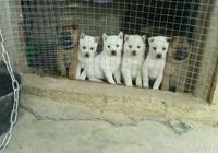 叔叔家的中華田園犬生了6只小狗,個個生龍活虎,品相非常好