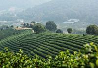 中國綠茶品類大全?綠茶的頭道茶喝還是不喝?綠茶的功效與作用?