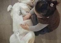 柴犬發現小主人在睡覺,非得拱進被窩一起睡