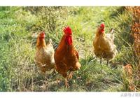 十二生肖裡雞對朋友很講義氣,這3個生肖就是他的人生摯友
