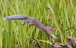 攝影師捕捉小松鼠飛躍瞬間,為了吃到堅果拼啦!